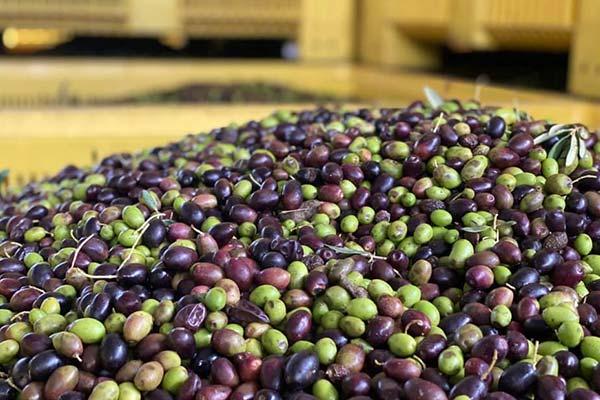olive biologiche della basilicata